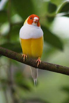 Lady Gouldian Finch.  PASSERINE FEET