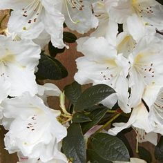 Beautiful Azaleas and Rhododendrons for Northern California