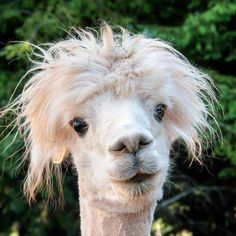 Funny Llama Jokes Related Keywords & Suggestions - Funny Llama ...
