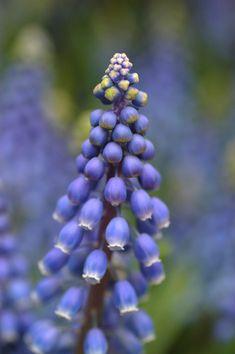 Armenian Grape Hyacinth Muscari