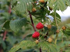 mit metsszunk telen 02 Lombok, Shade Garden, Winter, Strawberry, Fruit, Raspberry Bush, Beide, Berries, Autumn