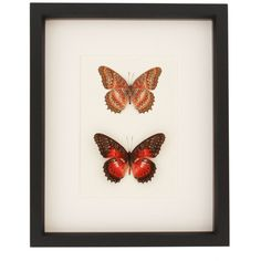 Framed Butterflies Cethosia Biblis Nature Insect Art ($68) ❤ liked on Polyvore featuring home, home decor, wall art, home & living, home décor, silver, butterfly framed wall art, leopard home decor, san francisco wall art and butterfly wall art