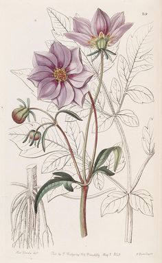 Edwards's botanical register.. London :James Ridgway,1829-1847.. biodiversitylibrary.org/page/241448