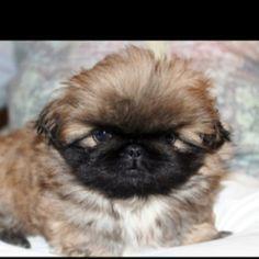 Baby Pekingese ...