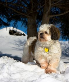 """10 Cool Facts About Shih Tzus From your friends at phoenix dog in home dog training""""k9katelynn"""" see more about Scottsdale dog training at k9katelynn.com! Pinterest with over 18,000 followers! Google plus with over 119,000 views! You tube with over 350 videos and 50,000 views!! Twitter 2200 plus;)"""
