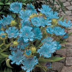 Blue Danube Stokesia Incredible Low Care Perennial For Zones 5 9