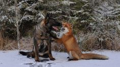 Real-life fox and hound fight the fur industry.  How can anyone wear fur???                                                             The adorable duo inspired a book t...
