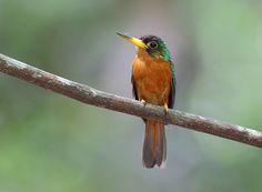 Foto ariramba-de-bico-amarelo (Galbula albirostris) por Anselmo d`Affonseca
