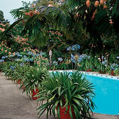 Lily-of-the-Nile makes a big statement around this pool. The blue of the flowers mirrors the blue of the pool.