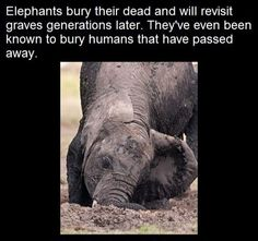 On many occasions, elephants have also buried dead or sleeping humans or aided them when they were hurt. Elephant Facts, Elephant Love, Amazing Animals, Animals Beautiful, Animals And Pets, Baby Animals, Wtf Fun Facts, Random Facts, Random Animal Facts