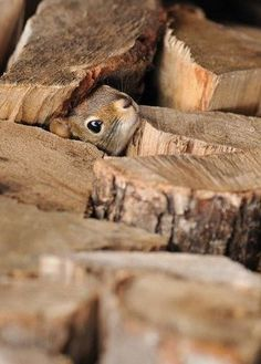 Squirrel Investigates an Autumn Cord of Wood. Rumor of Nut Storage. Hamsters, Rodents, Baby Animals, Funny Animals, Cute Animals, Wild Animals, Beautiful Creatures, Animals Beautiful, Little Critter