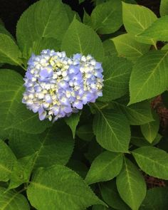 hydrangea garden care How to Dry Hydrangeas Hydrangea Color Change, Hydrangea Colors, Hydrangea Care, Hydrangea Flower, Hydrangeas, Hydrangea Potted, Hydrangea Shrub, Hydrangea Landscaping, Sun Flowers