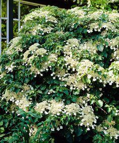 Klätterhortensia (Hydrangea anomala subsp. petiolaris) | Zon 4. Växer på platser där andra klätterväxter inte kan. Blommar vackert med stora, vita blomsterplymer om sommaren som lockar insekter. Kräver nästan ingen skötsel och är lätt att leda. Vackert tillskott vid din huvuddörr eller mot ditt staket eller ett stall. Om hortensian inte har något att klättra på kryper den på marken. Bäst i skugga-halvskugga. Växer långsamt men på 10 år kan den bli minst 4 meter.