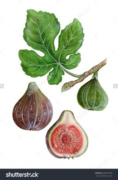 Find Realistic Illustration Fig Ficus Carica Leave stock images in HD and millions of other royalty-free stock photos, illustrations and vectors in the Shutterstock collection. Vegetable Drawing, Vegetable Painting, House Plants Decor, Plant Decor, Tree Illustration, Botanical Illustration, Fig Drawing, 30 Day Drawing Challenge, Tree Logos