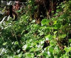 Youth on age, a native northwest spreading ground cover, about 1 foot high. (Tolmiea menziesii)