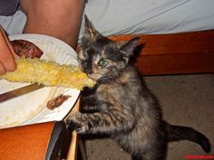 anyone want some corn on the kitten…aka nomnomnom - http://cutecatshq.com/cats/anyone-want-some-corn-on-the-kittenaka-nomnomnom/