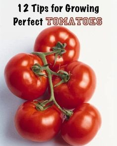 Alternative Gardning: 12 Tips for Growing Perfect Tomatoes