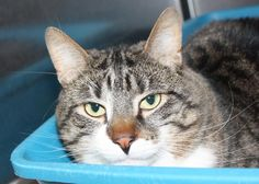 Meet Twix, a Petfinder adoptable Tabby - Brown Cat Tabby Brown, Brown Cat, Australian Cattle Dog, New Friends, Meet, Cats, Animals, Gatos, Animales