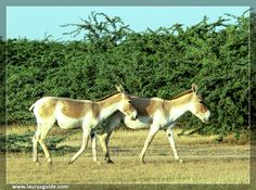 Indian Wild Ass Sanctuary also known as the Wild Ass Wildlife Sanctuary is located in the Little Rann of Kutch in the Gujarat state of India. Spread over 4954 sq.km, it is the largest wildlife sanctuary in India.  The wildlife sanctuary was established in 1972 and came under the Wildlife Protection Act of 1972.