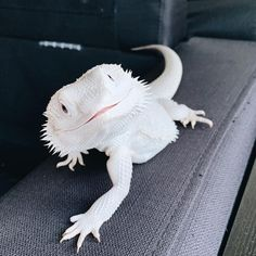 Bearded dragons lizards bearded dragons lizards 30 rare albino animals that people can t help but love page 4 of 31 science 101 Cute Lizard, Cute Gecko, Cute Snake, Amazing Animals, Animals Beautiful, Cute Little Animals, Cute Funny Animals, Funny Pets, Reptile Room