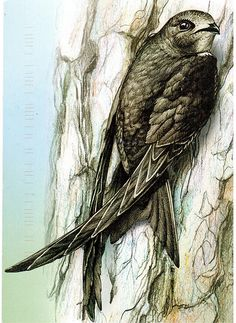 The black bird in this drawing is a Common Swift. Card sent by a Postcrosser in Belarus. (Postcrossing BY-442405)