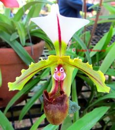 Looks like a baby dinosaur or bird in a nest...Love this one.      Lady Slipper Orchid Paphiopedilum spicerianum