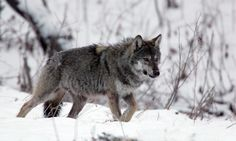 When Poland banned wolf hunting, numbers doubled. But now animal scientists fear that politicians could turn back the clock