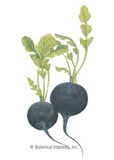 PLANTED: Radish Round Black Spanish HEIRLOOM Seeds - Botanical Interests (Winter radishes are a must for radish lovers. They can be stored for long periods. Round Black Spanish is an extra large radish that dresses up vegetable trays and spices up sandwiches and salads. Winter radishes require a longer time to develop than spring radishes, and cool temperatures to mature the edible root. To grow successfully, sow in mid- to late summer or early fall.)