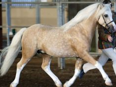 Welsh Pony (Section B) palomino Most Beautiful Horses, All The Pretty Horses, Animals Beautiful, Welsh Pony, Pony Breeds, Horse Breeds, Poney Welsh, Haflinger Horse, Palamino Horse