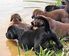 Black & Chocolate Labrador Retriever Puppies investigating water.
