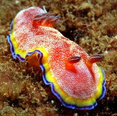 Growing to 3 cm or more, this sea slug known by its latin name Chromodoris albopunctata comes in a variety of mantle (body) colors - ranging from red to yellow. However, there is always a pattern of white spots and rings as well as a bright blue border encircling the mantle.