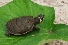 tortugas taricayas - Buscar con Google