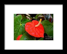 flamingo flower, orange, flower, bloom, blossom, nature, garden, michiale, schneider, photography
