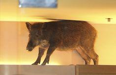 TODAYonline.com - Wild boar visits Hong Kong mall