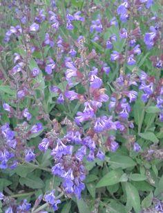 A zsálya egy csodálatos gyógynövény, amely különleges ízt ad a leveseknek, salátaönteteknek és gyümölcsleveknek. A gyógynövény gyulladáscsökkentő és erős... Bump Ahead, Hungarian Recipes, Lip Service, Purple Haze, Herb Garden, Herbs, Health, Therapy, Plant