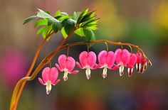 Few plants match the oldfashioned charm and romantic blossoms of bleeding hearts. These whimsical plants appear in spring in shady to partially sunny locations. As perennials they come back year after year but how to propagate bleeding heart plants? Find