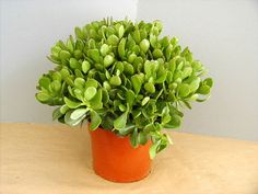 Jade plant (Crassula) for money luck in Feng Shui