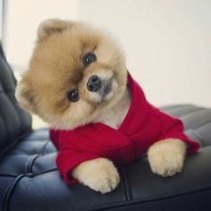 This Pomeranian wants to know what you're up to
