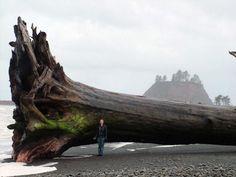 "workman: "" likeafieldmouse: Giant driftwood on the beach at La Push, Washington (2010) """