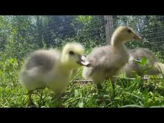 #WildWingedWednesday  You're going to want to turn up the volume for this one! It's grazing bar-headed goslings!Bar-headed Goslings