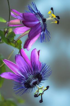 .~beauty-rendezvous: Passiflora ~ Passion flower ~ Passifloraceae by Designs by iRis on Flickr~.