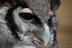 Source: Flickr / nolimitsphotography  #verreaux's eagle owl