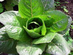Lettuce, Brown Goldring
