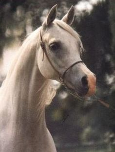 Pilarka (Palas x Pierzga) A 1975 Polish Arabian mare who, along with her half sister Etruria holds many National titles along with World Champion Mare at Salon Du Cheval.