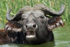 African Buffalo in Queen Elizabeth National Park.