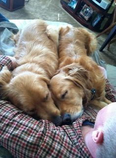 Goldens=best dog ever