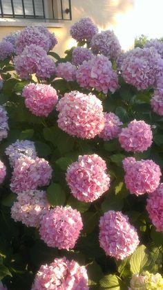 hortensias de mi jardin