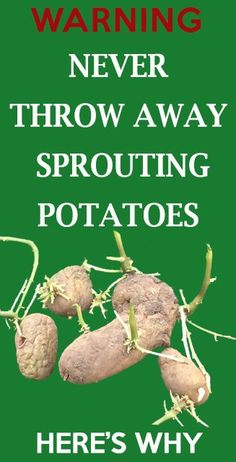 Never throw away sprouting potatoes, here is why. Sprouting potatoes is the best potatoes to....
