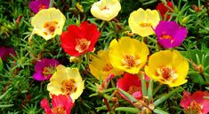 Learn about the Best Plants For Hanging Baskets. Hanging baskets filled with colorful flowers and plants are very showy and elegant and adorn any garden. You don& need a lot of space to display them, too! Portulaca Flowers, Portulaca Grandiflora, Planting Flowers, Portulaca Oleracea, Balcony Plants, Outdoor Plants, Garden Plants, Garden Web, Balcony Garden