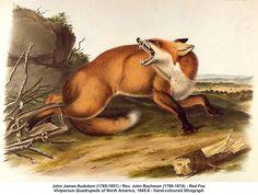Red Fox by John James Audobon